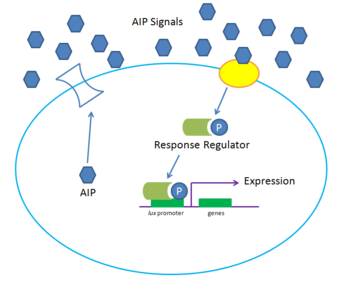 Gram Positive Quorum sensing system at high density. High concentrations of the small peptide autoinducer AIP causes binding of a surface receptor, phosphorylating a response regulator and inducing expression.
