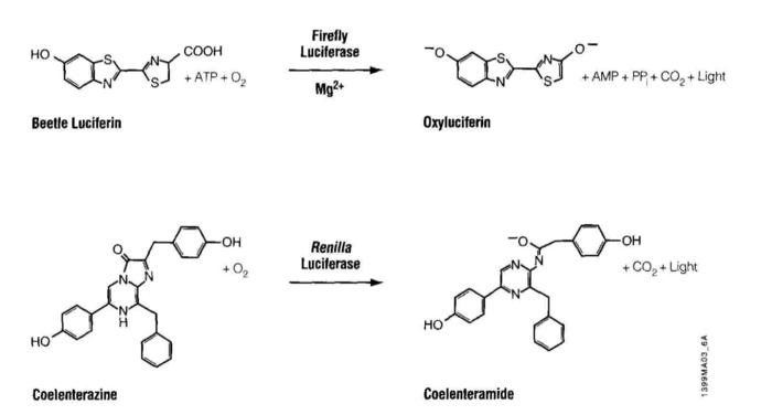 luciferase reactions