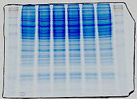 Protein gel (1st step of a Western blot) showing a prestained ladder on both sides and Coomassie-stained protein samples in the centre. PS: You wouldn't stain with Coomassie before labelling with antibodies. This is for better illustration.