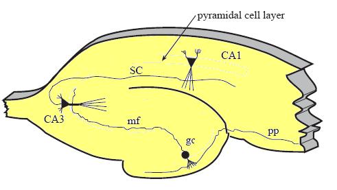 File:Hippocampus2.bmp