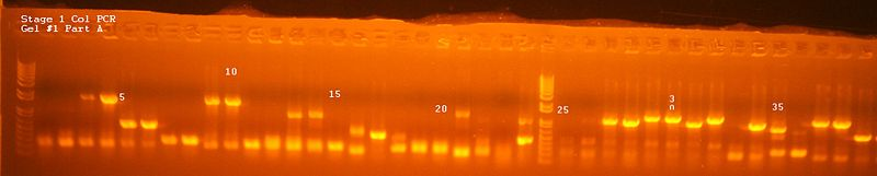 File:Stage 1 Col PCR Gel 1 Part A.jpg