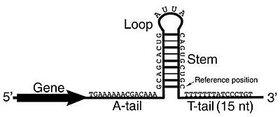 The formation of the hairpin loop followed by the stretch of Us that forms both help to terminate transcription[8]