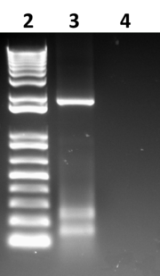 Fig 1. Gel showing another GUS PCR, with a 1Kb+ base ladder in lane 2 and a band of GUS product at roughly 1.8Kb in lane 3.