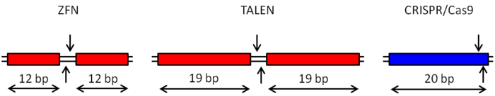 A comparison of recognition site sizes for various genome editing technologies, with vertical arrows showing the relative cleavage sites.  Each ZFN monomer can recognize 12 bp using 4 zinc finger modules, while TALEN monomers can recognize up to 19 bp using one module per base pair.  The CRISPR/Cas9 system uses a synthetic sgRNA that base pairs with 20 nucleotides at the target site.