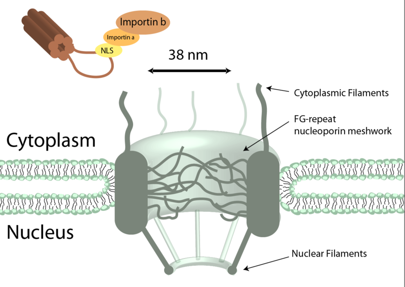 File:Nuclearpore.png
