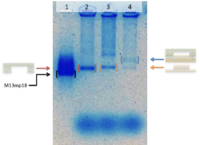 Fig. 6. The result of electrophoresis. Lane 1, M13mp18 ssDNA. Lane 2, Stage. Lane 3, Convex DNA origami. Lane 4, Stage + Convex DNA origami. (Raw data)