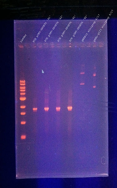 File:DNAgel 8.17.2011 testPCR labeled.jpg