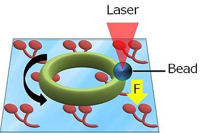 Measurement force of ring.jpg