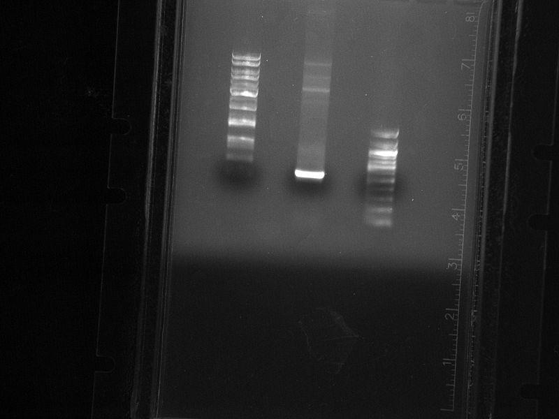 File:090809-hgLuc PCR.jpg