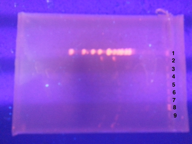 File:Numbered gel KLN.png