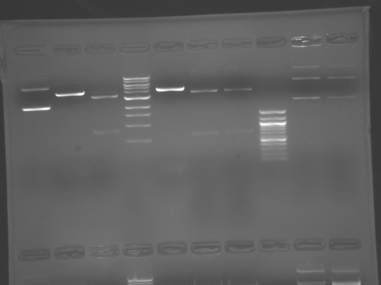 File:S10 M2D5 WF gel-Pink.jpg