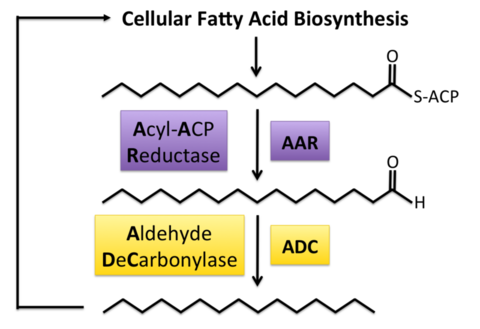 Reduction of fatty acid intermediates into alkanes.