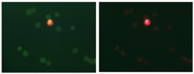 LIVE/DEAD® assay example. Cell viability was monitored using fluorescent dyes that differ in their cell permeance and nucleic acid affinity. Fluorescence emission in the green and red (left) and red alone (right) channels is shown for the same field of cells.