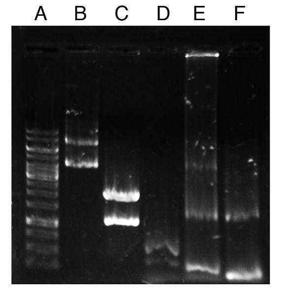 File:Colony PCR check Chloe.jpg