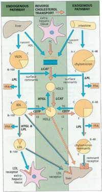 Figure 1 The exogenous and endogenous pathways for lipid transport