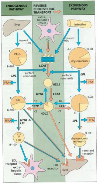 File:Lipid metabolism pathways.png