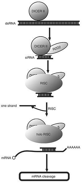 File:SiRNA flow chart.jpg