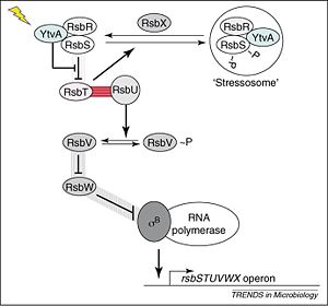 The YtvA-SigmaB activation pathway