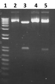 Fig 1. Gel image showing the digest checking the cloning of the plasmids. Lane 1 is a 1Kb+ ladder, lane 2 is the uncut pMS82, lane 3 is the cut pMS82, lane 4 is the uncut pUA3-45 and lane 5 is the cut pAU3-45.