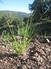 Diploid P. hallii growing at 6,000 feet in the Davis Mountains of Western Texas