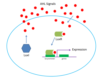 Lux system at high density. High concentration of the autoinducer AHL allows efficient entry into the cell and binds to the LuxR transcription factor, inducing expression.