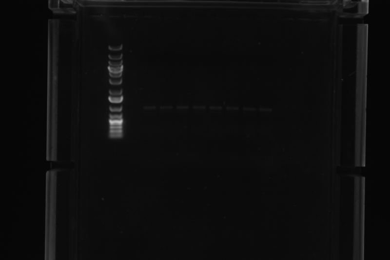 Image:2015-08-05 Gal4EED-luc PCR products.TIF