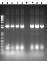 Fig 1. Gel image showing a 1Kb+ ladder and 8 rows of GUS PCR. All show a band at approximately 1.812Kb.