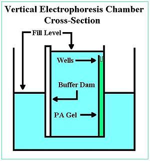 Vertical electrophoresis.JPG