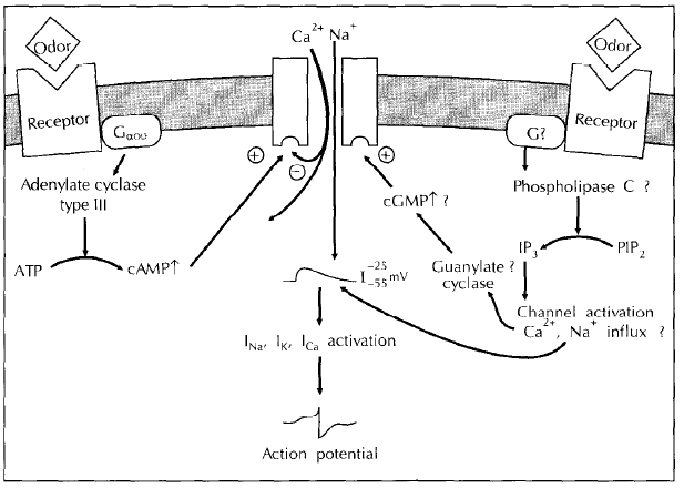 File:Activation pathway.bmp