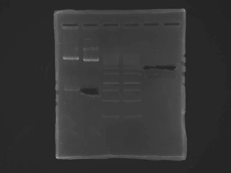 File:IGEM Paris RG PCR 04 08 2012 2.BMP