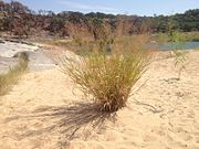 Switchgrass in its native riparian habitat in central Texas