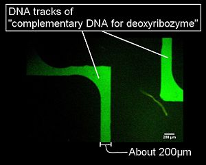 Figure 2. the result of arrayed DNAs on glass plate using microchannel of Figure 1 and hybridized with their complementary fluorescent labeling DNA strands. This figure was observed by fluorescent phase contrast.