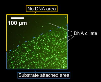Figure 5. Fluorescent image of DNA ciliate gathering at the specific area by fluorescent microscopy.