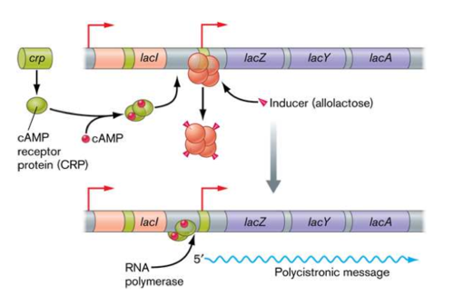 Positive and negative regulation of the Lac Operon [4]