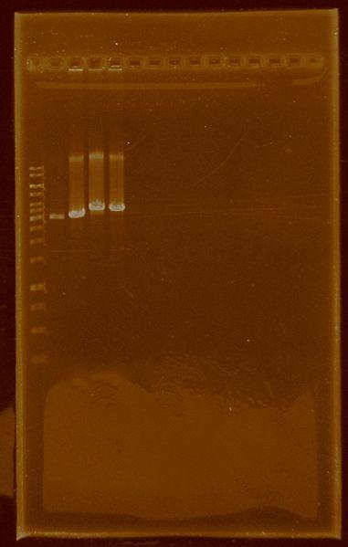 File:Dramirez EcoRIdigestion E0430 J04450.jpg