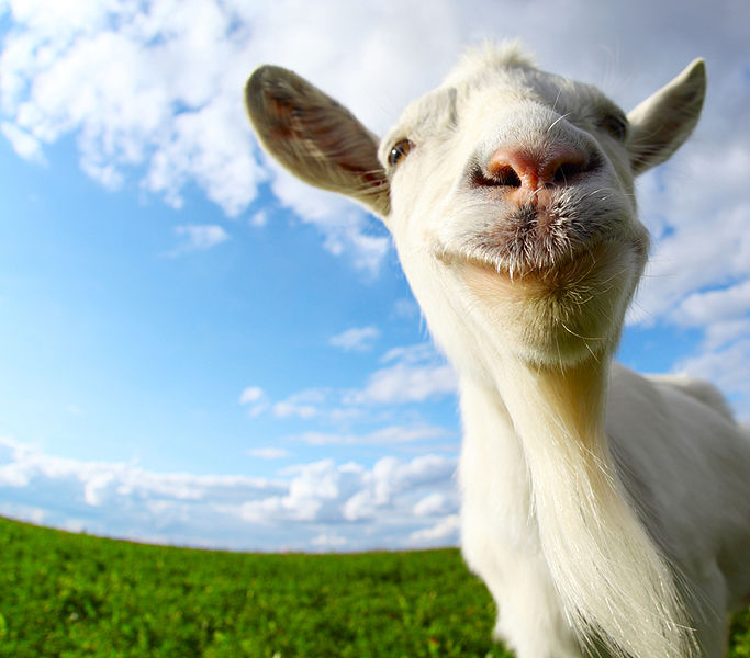 Image:Bigstock-Funny-goat-s-portrait-on-a-gre-41216992.jpg