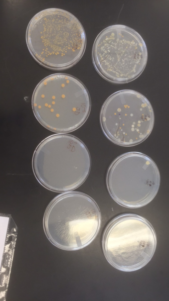 File:Serial dilutions plates.png