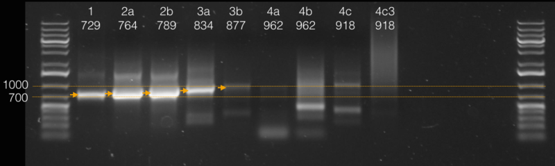 Image:14.09.15 PCR of Luc to AmCyan gel.png