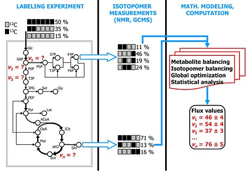 Quantifying carbon traffic by isotope-assisted metabolic flux analysis. Click for detail.