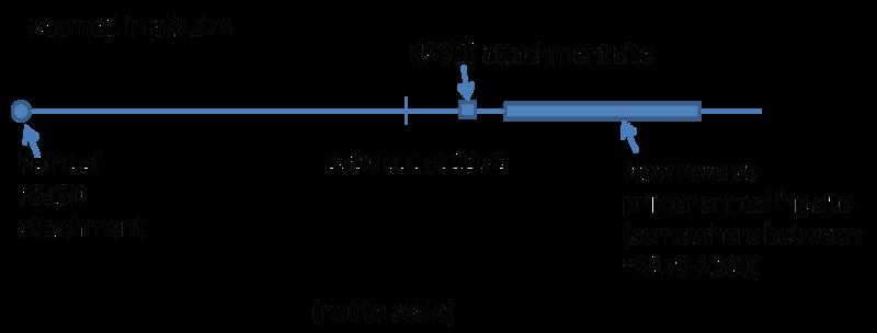 Anchor pcr primer design.png
