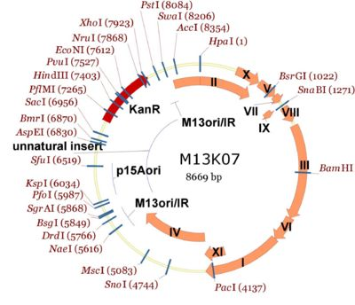 Entire M13K07 plasmid map showing single cutters