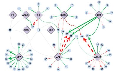Fig. 3. An Arabidopsis transcription factor-gene regulatory network as quantitatively deduced by network component analysis. Click for detail.