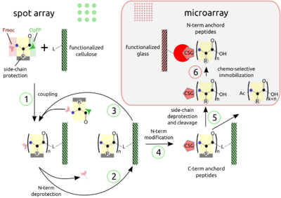 Macro to microarrays of peptides.png