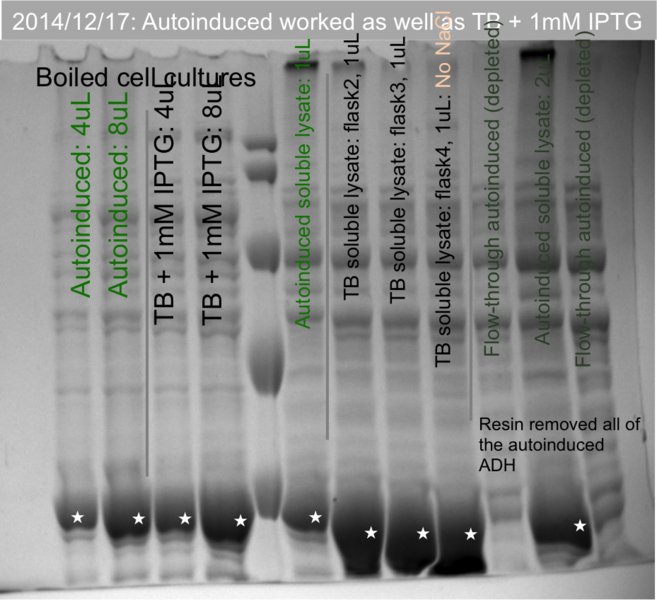 File:141219 SDS-PAGE showing efficacy of autoinduced ADH.png