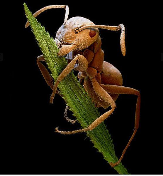 File:Brown Ant.jpg