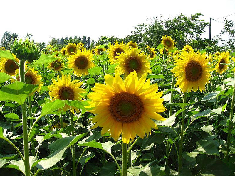 File:Sunflower 3314.jpg