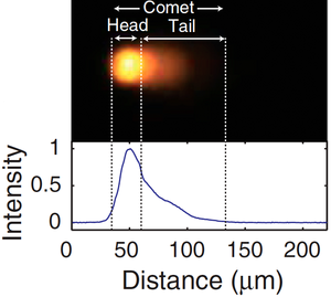 Figure 1: Single cell gel electrophesis (comet assay) after exposure of cells to radiation. The head of the comet contains the undamaged DNA which does not migrate on the gel due to tight winding of the DNA. The tail of the comet contains the damaged DNA. DNA damage can be quantified by calculating the percentage of total DNA within the tail. The plot shows the amount of SybrGold-stained DNA as a function of comet length.