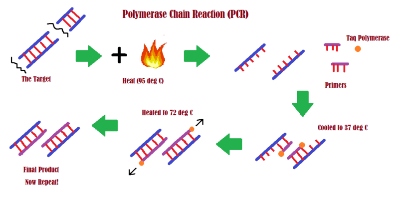 File:PCRpic.png