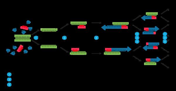 PCR Diagram