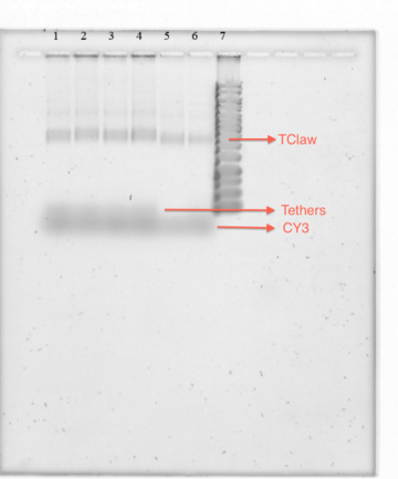 Figure 18-TClaw and CY3 Sybr Stain Gel. Figure 18 shows TClaw with excess tethers and excess CY3 strand.